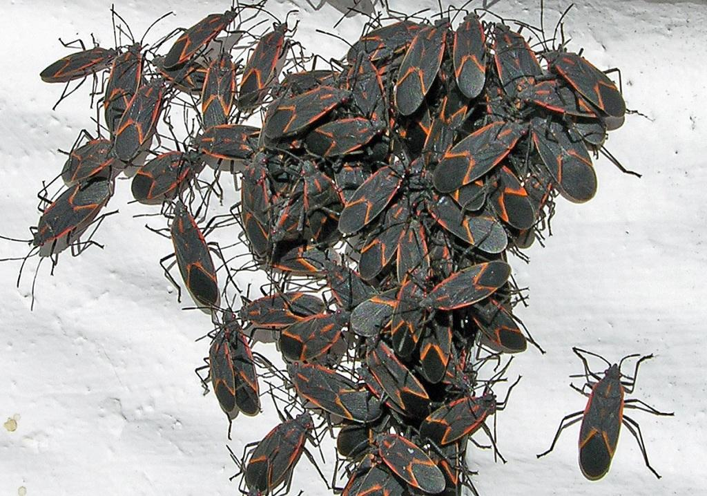 boxelder bugs, pest control, exterminator, 99362, walla walla, milton freewater, dayton
